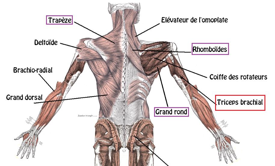 Développé couché muscles 2