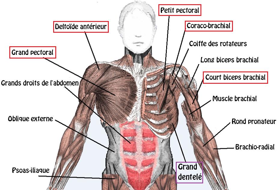 Ecarté couché muscles 1