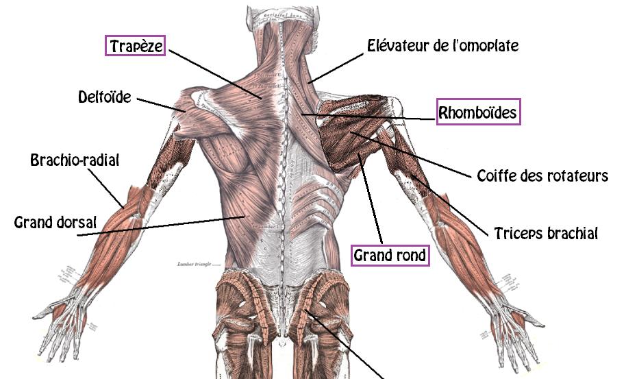 Ecarté couché muscles 2