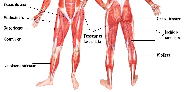 Fentes anatomie
