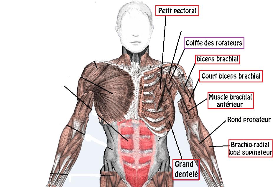 Tirage vertical anatomie 1