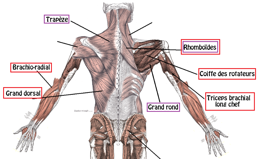 Tirage nuque muscles