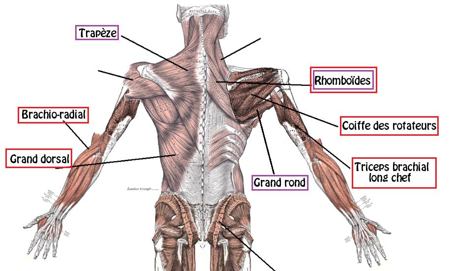 Tirage vertical anatomie 2