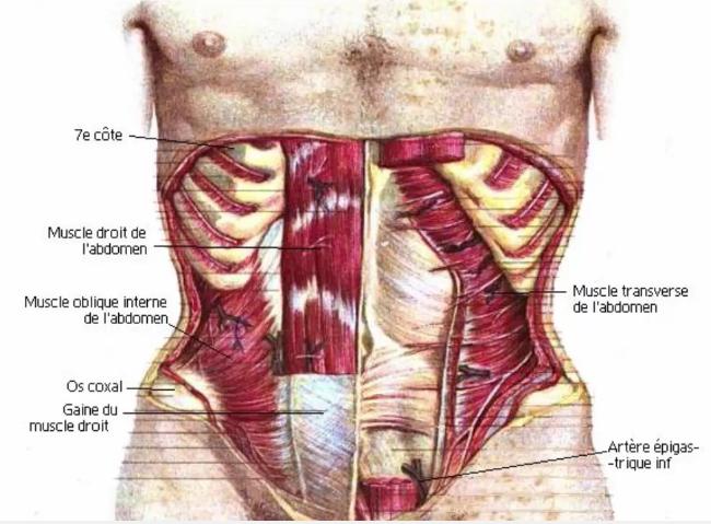 ventre plat anatomie abdos